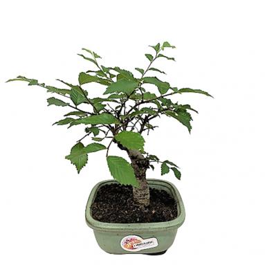 Ulmus Parvifolia (Chinese Elm Bonsai)