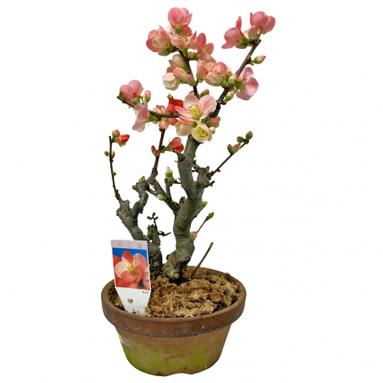 Japanese Begonia Bonsai - Chaenomeles (Japan)